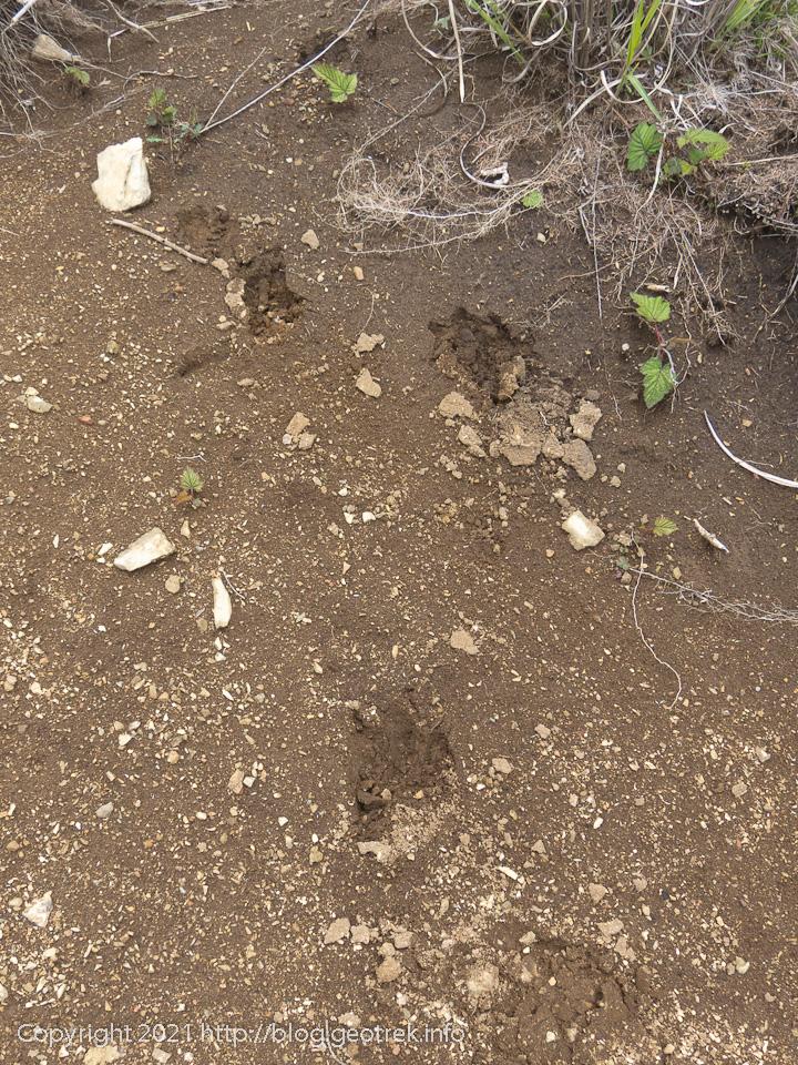210529 獣の足跡