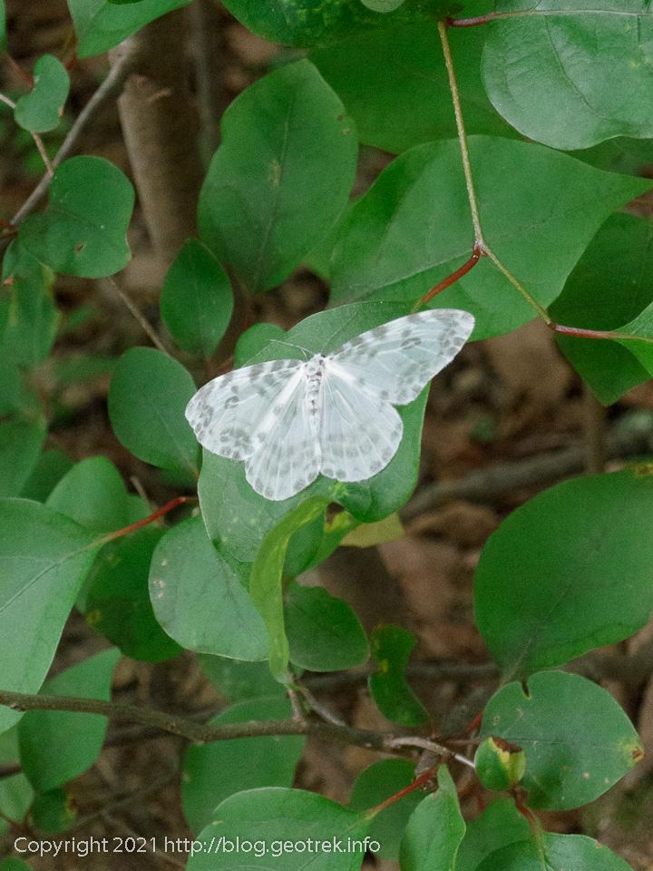 210612 緑の葉と白い蛾
