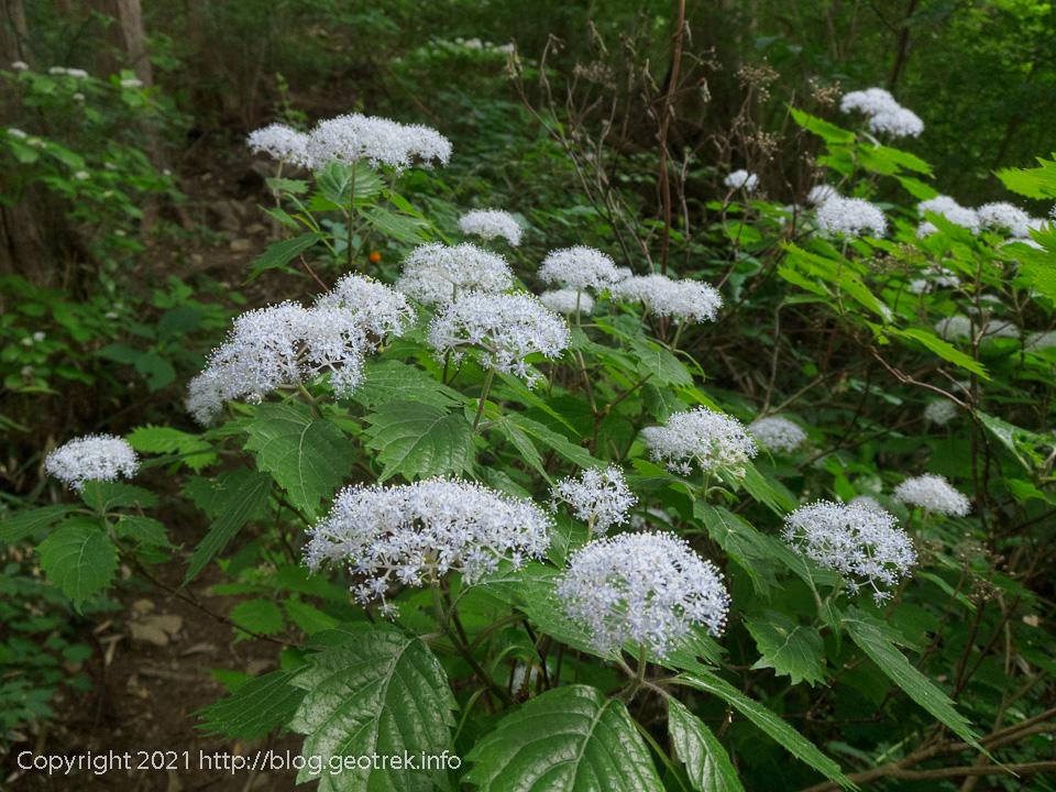 210612 たくさん咲いている花