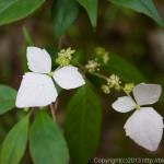 花と新緑の山歩き~檜洞丸、七沢温泉(1)