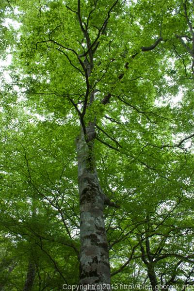 檜洞丸ブナの巨木