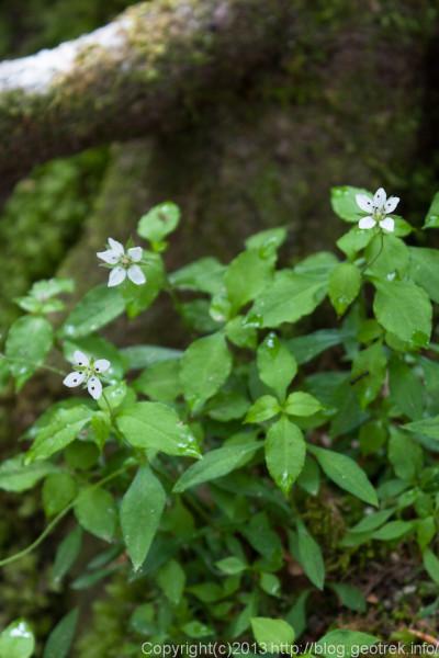 檜洞丸の花