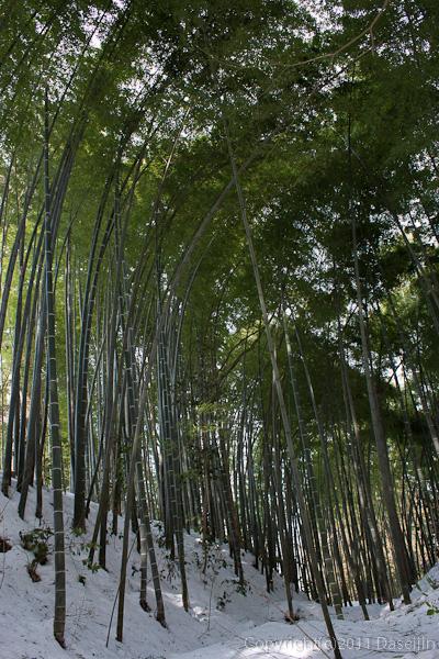 120213世界遺産平泉・中尊寺の曲がった竹