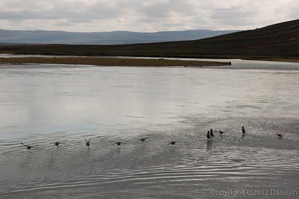 120805アイスランド、グリーンランドの旅・キタウル湖の水鳥