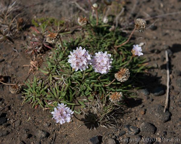 120805アイスランド、グリーンランドの旅・ハイランド、荒野の花