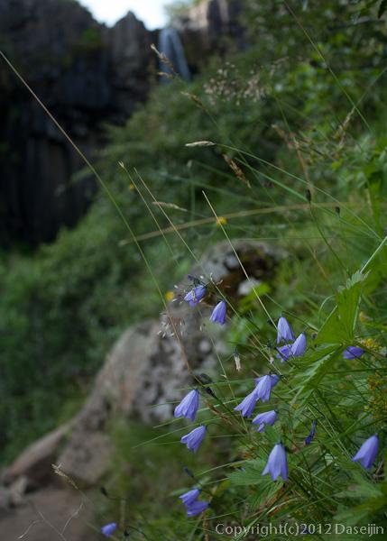 120806アイスランド、グリーンランドの旅・釣鐘人参のような花