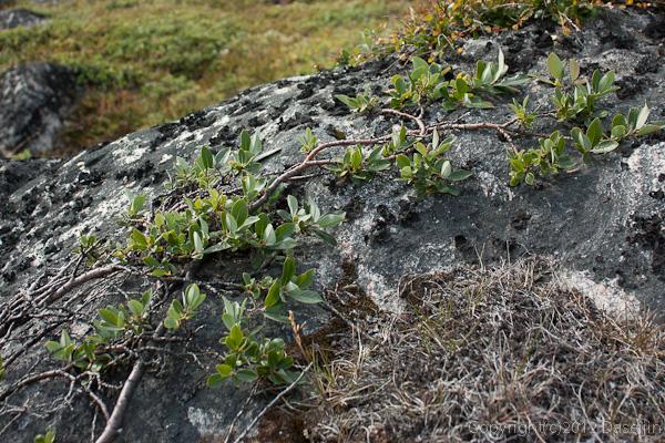 120813アイスランド、グリーンランドの旅・木は岩に張り付く