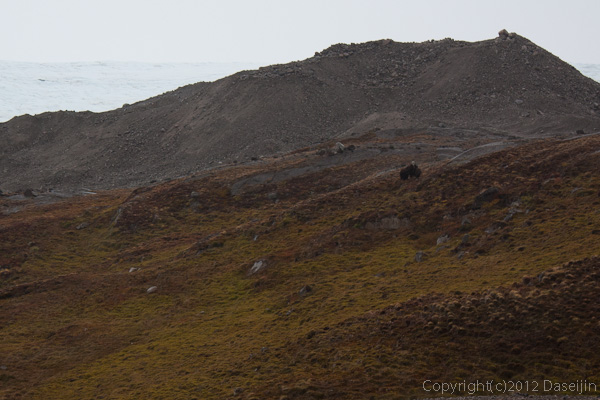 120814アイスランド、グリーンランドの旅・ジャコウウシ