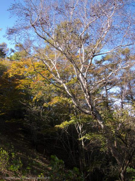川苔山・山頂直下の樺の木