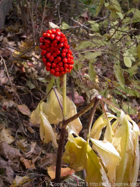 131109茅ヶ岳、赤い実