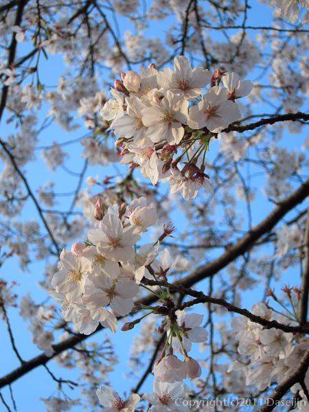 120404熊本・熊本城備前掘の桜4