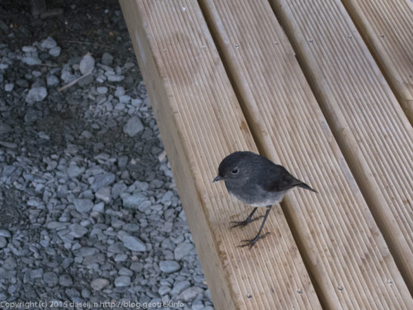 ルートバーン・フラットにて、Newzealand robin