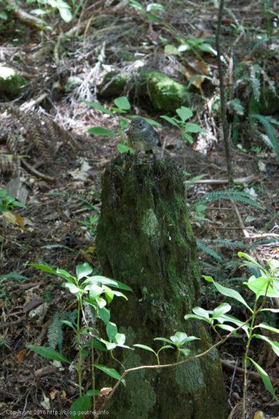 ティリティリマタンギ・アイランド、ニュージーランドロビン