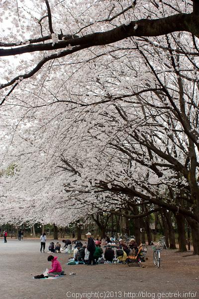 都内の満開の桜