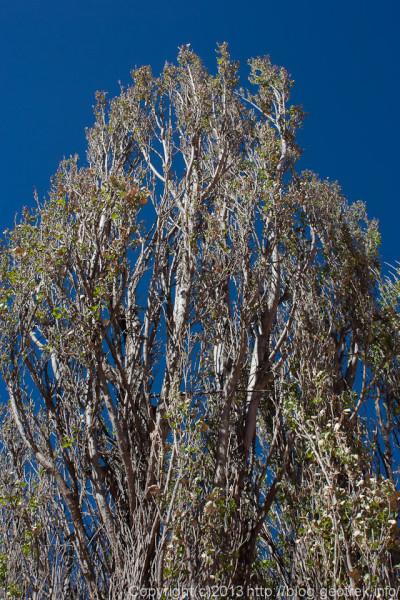 130830プルママルカの木