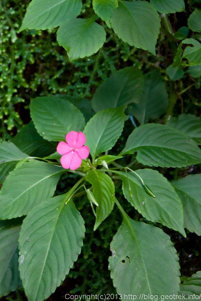 130827イグアスの滝・花