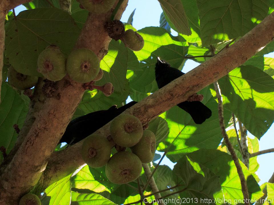 130827イグアスの滝・黒い鳥