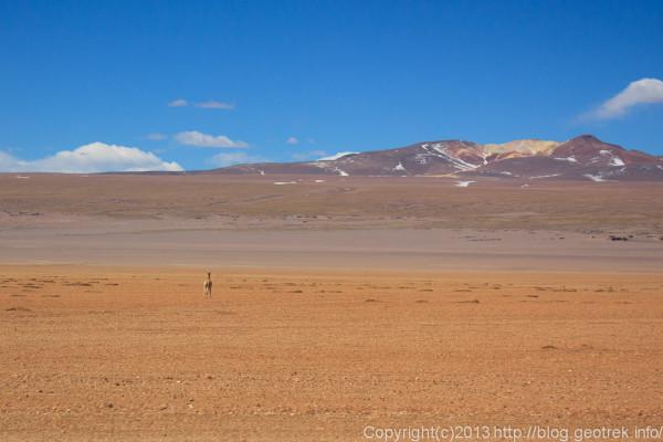 130903アタカマ砂漠、ピクーニャ