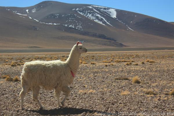 130903アタカマ砂漠、ラグーナ・コロラダのリャマ