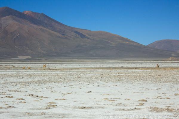 130904アタカマ砂漠、チグアナ湖のピクーニャ