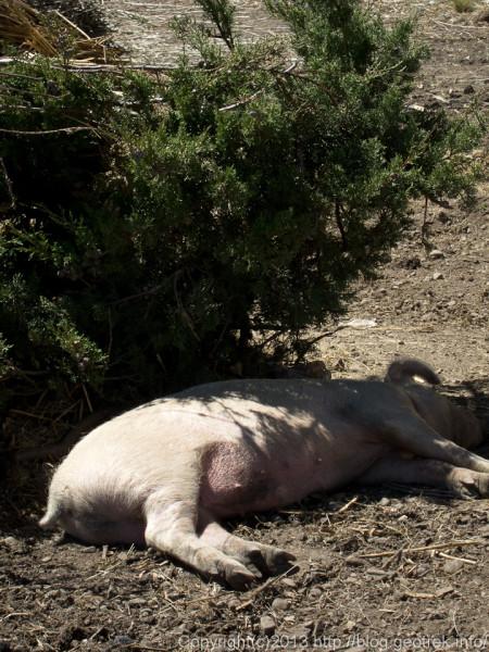 130907ボリビア、月の島の豚