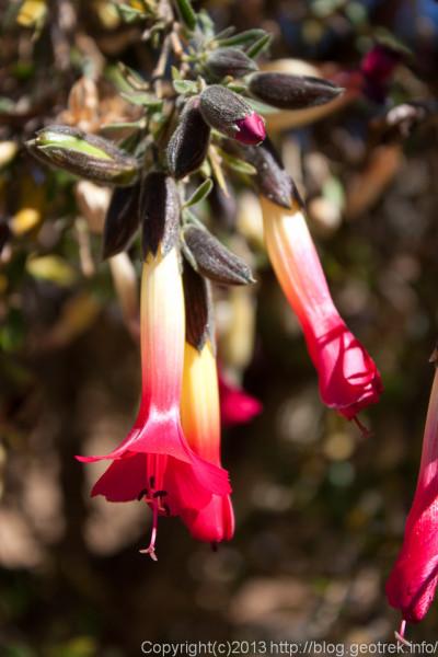 130907ボリビアの花