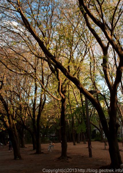 花の落ちた桜並木