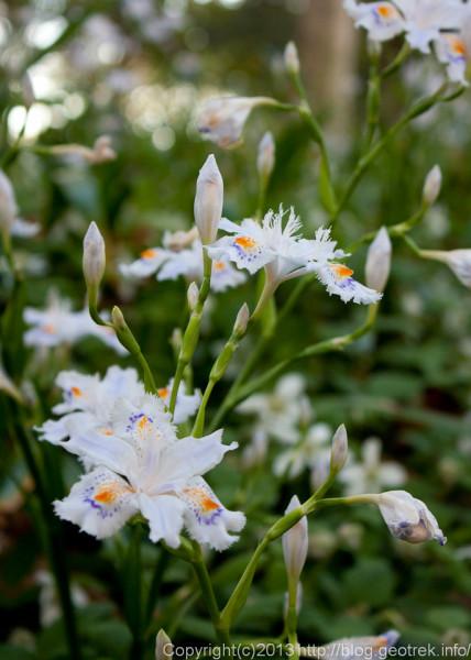 シャガの花が満開
