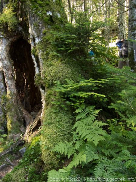 20130810深い樹林、コケや羊歯に覆われた北沢峠