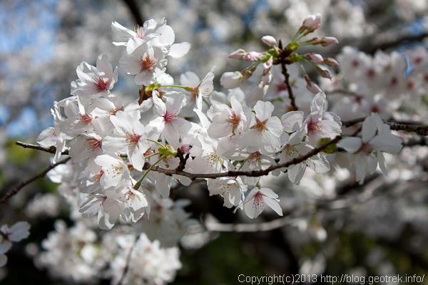 130321芝公園の桜