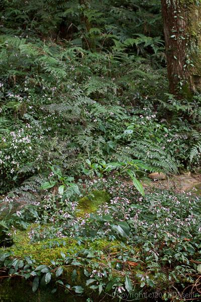 120310阿里山・深い樹林の中に咲く花