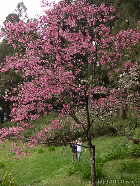 120310阿里山・木蘭園の桜