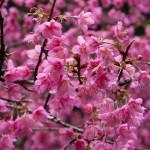 阿里山は花盛り~台湾の旅(5)