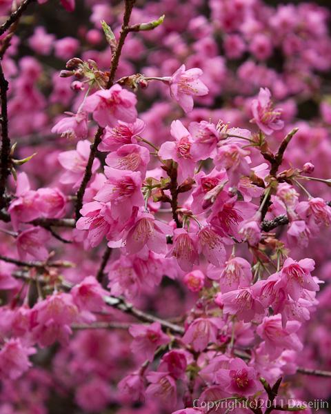 120310阿里山・木蘭園の桜のアップ