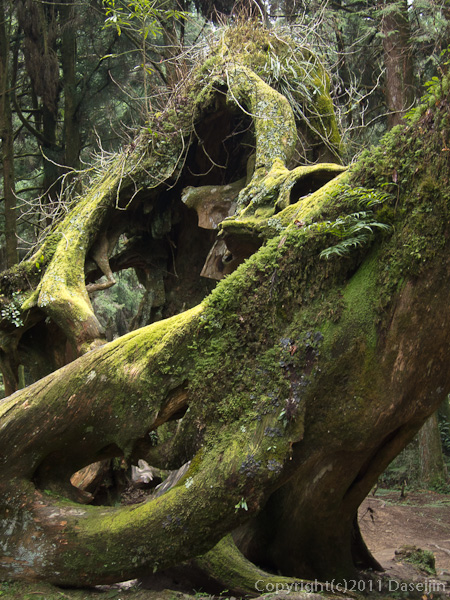 120310阿里山・巨木の切り株
