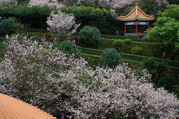 120312台北・淡水天元宮、桜と緑のコントラスト