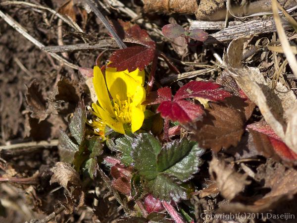 111104谷川岳・花が咲いている