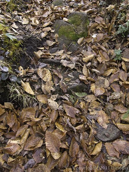 111105谷川岳・山の家をすぎると落ち葉が積もる道