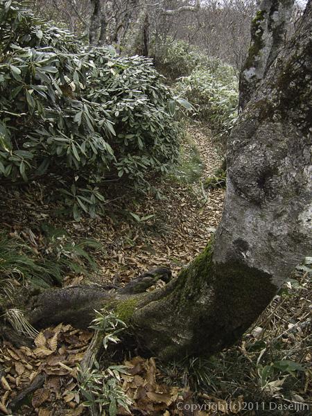 111105谷川岳・大源太山への道は潅木と笹
