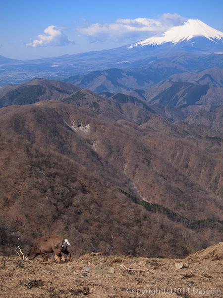 120407丹沢・塔ノ岳山頂、富士山と鹿