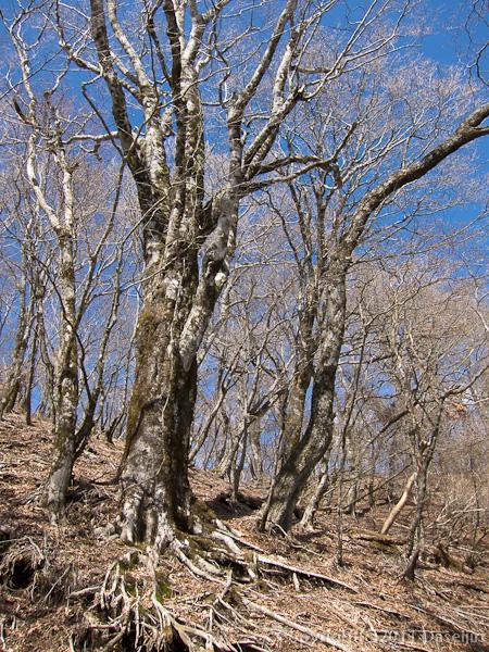120407丹沢・塔ノ岳から鍋割山はブナ