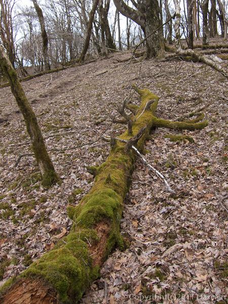 120407丹沢・檜岳の楓の落ち葉