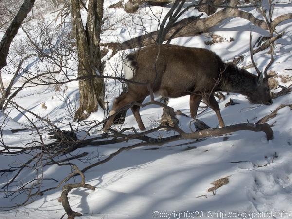 塔ノ岳の鹿