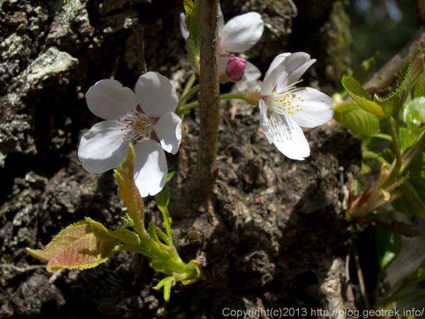 光城山の桜の花